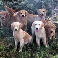xanadu golden retrievers property 1
