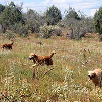xanadu golden retrievers property 2