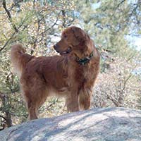 xanadu golden retrievers property 3