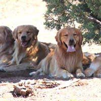 xanadu golden retrievers property 8