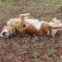 xanadu golden retrievers property 14