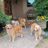 xanadu golden retrievers property 16