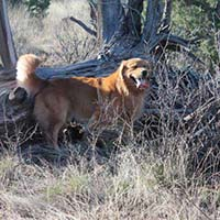 xanadu golden retrievers property 25