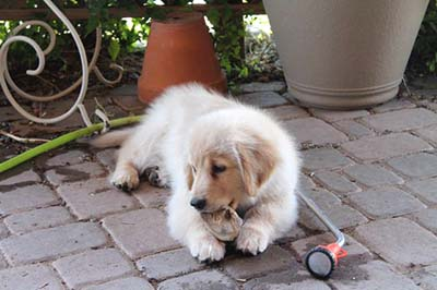 Xanadu Golden Retriever Puppies