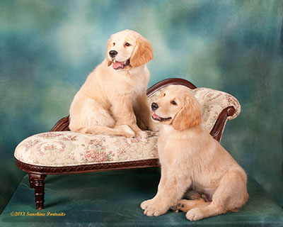Xanadu Golden Retriever pups